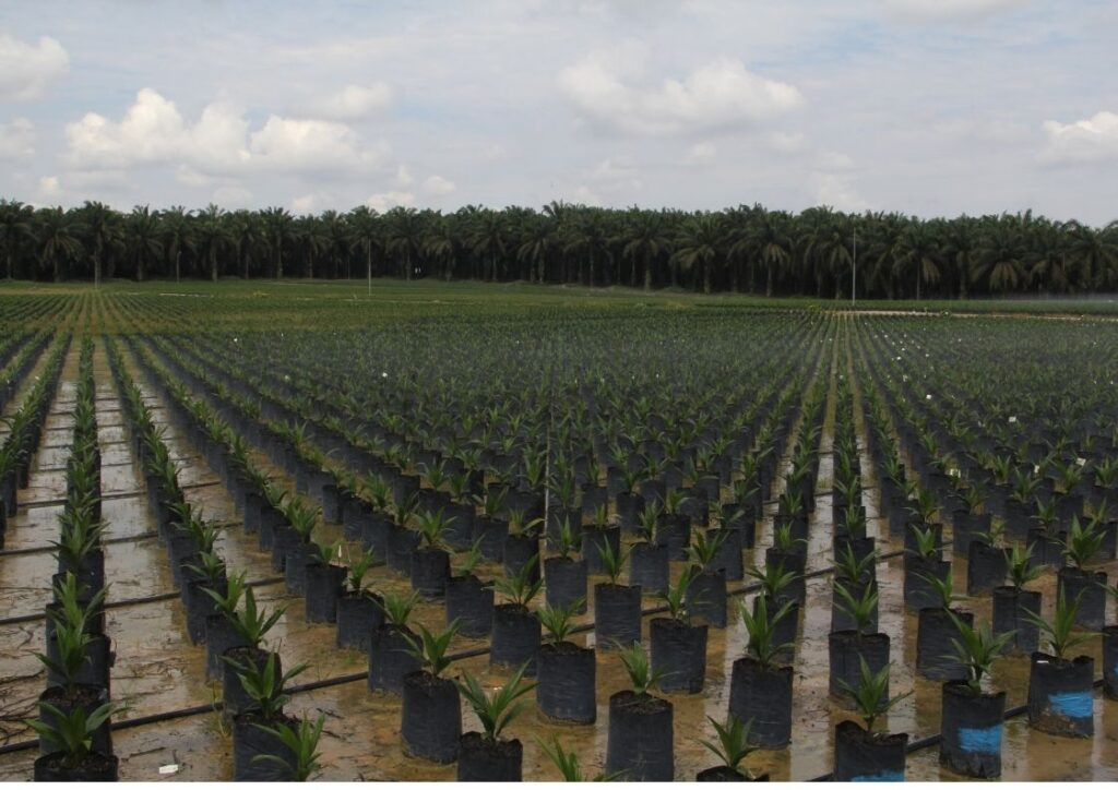 Just planted palm oil farm